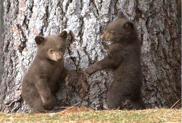 Bear Facts   nobearhuntnv.org
