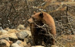 Tahoe Black Bear