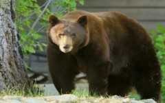 Nevada bear hunt ends with 11 killed