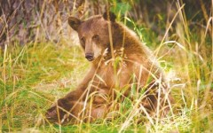 NV bill to ban bear hunting enters legislature