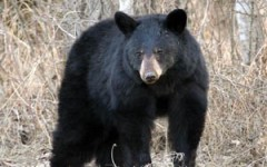 Animal activists want an end to black bear hunting