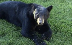 Hunting ban out of bear bill