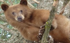NDOW is subsidizing bear hunt, trapping