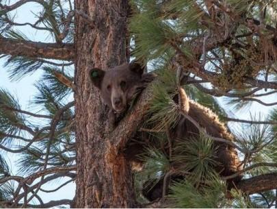 treebear